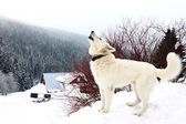 белая собака вой — Стоковое фото