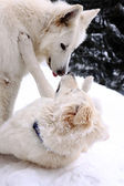 White two doggery fiddling in snow — ストック写真