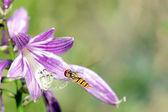 Volano vespa piccolo sulla campana fiore — Foto Stock