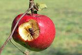 Hornet eat apple — Stock Photo
