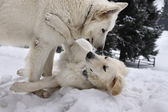 White two doggery fiddling — Stok fotoğraf