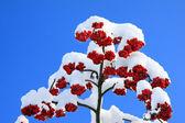 Rowanberrys with snow — Stock Photo