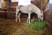 Fodder white horse — Stock Photo