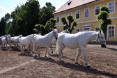 White horses and foals — Stock Photo