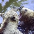 Two bears in water — Stock Photo