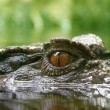 Close-up eye crocodile — Stock Photo