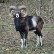 Royalty-Free Stock Photo: European Mouflon