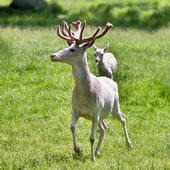 White deer in the park — Stock fotografie