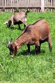 два коричневый козий пастбищ на весну — Стоковое фото