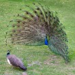 Peacock — Stock Photo #22445443
