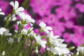 Great deal of small white blossom alpine plant — Photo