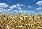 Ripe corn with blue sky — Stock Photo