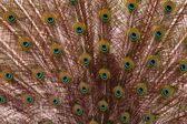 Detail plumage peacock — Stock Photo