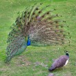Peacock — Stock Photo #24627693