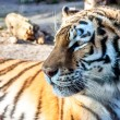 Tiger - detail head - portrait mammal — Stock Photo