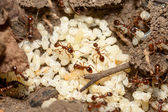 Ants with eggs — Stock Photo