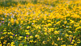Detail of Yellow Flowers on Meadow with Clover — Stock Photo