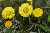 Coltsfoot Medical First Flower on Spring - Latin Name Tussilago  — Stock Photo