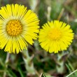 Coltsfoot Medical First Flower on Spring - Latin Name Tussilago Farfara — Stock Photo #44473543
