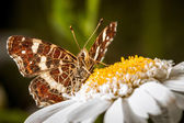 Brown Butterfly on a Marguerite - Great Banded Grayling (Brintesia circe) — Stock Photo