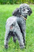 Black poodle — Stock Photo