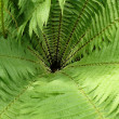 Fern — Stock Photo #30818593