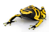 Yellow-banded Poison Dart Frog — Stock Photo
