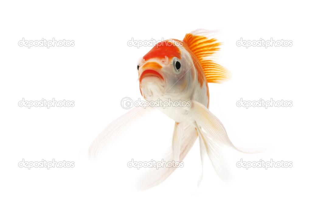 Poissons koi rouge et blanc photographie fivespots for Koi et poisson rouge