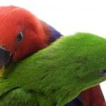 Solomon Island Eclectus Parrots — Stock Photo #25706189