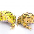 Green and Orange Fantasy Horned Frogs — Stock Photo