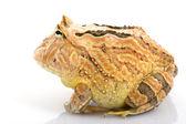 Orange Fantasy Horned Frog — Stock Photo