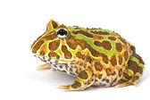 Horned Frog — Stock Photo