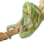 Veiled Chameleon — Stock Photo #25776195