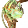 Veiled Chameleon — Stock Photo