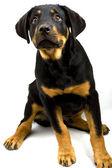 Rottweiler Puppy — Stock Photo