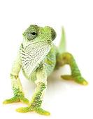 绿变色龙 — 图库照片