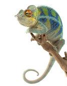 Ambanja Panther Chameleon — Stock Photo