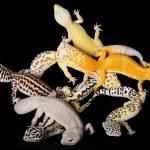 Постер, плакат: Leopard Gecko