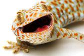 Tokay Gecko — Stock Photo
