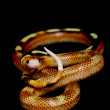 Granit Splotched Sinaloan Milksnake — Stock Photo