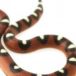 Spotted Mexican Milk Snake (Lampropeltis triangulum annulata) — Photo