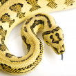 Jungle Jaguar Carpet Python — Stock Photo