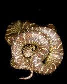 Brook's King Snake — Stock Photo