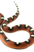 Spotted Mexican Milk Snake (Lampropeltis triangulum annulata) — Foto Stock
