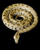 Groene Birmese python — Stockfoto
