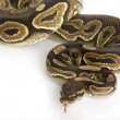 Cinnamon Ball Python — Photo #25821137