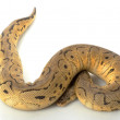 Pastel Clown Ball Python — Stock Photo #25821879