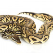 Pewter Ball Python — Stock Photo