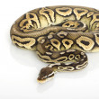 Pewter Ball Python — Stock Photo #25821941