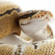 Pinstripe Ball Python — Stock Photo